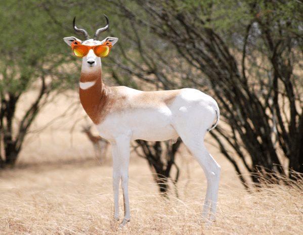 Gazelle ManBro