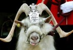 william-windsor_goat_mascot