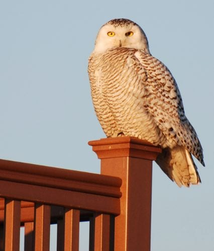 Snow Owl - Stone Harbor NJ