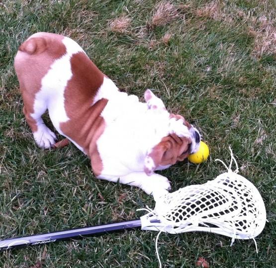 bulldog_lacrosse